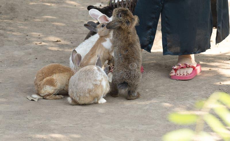 在宠物动物园的哺养的兔子 免版税库存图片