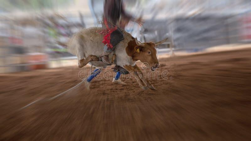 在室内圈地的小牛骑马 免版税库存照片