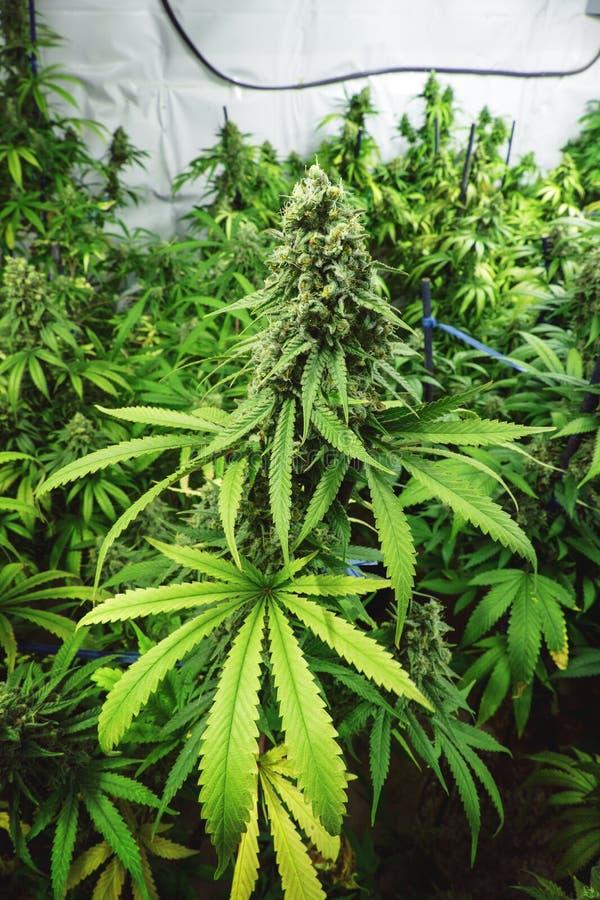 在室内大麻农场的大发芽的大麻厂 库存图片