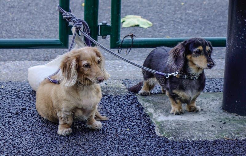 在室外的达克斯猎犬狗 图库摄影
