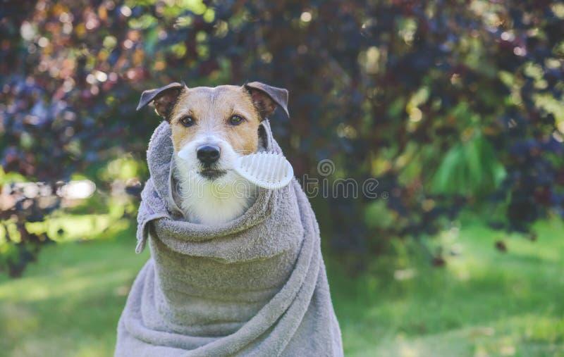 在室外阵雨以后的狗被包裹入毛巾在嘴等待的修饰的藏品刷子 库存照片