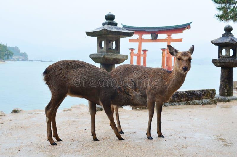 在宫岛海岛上的鹿 库存图片