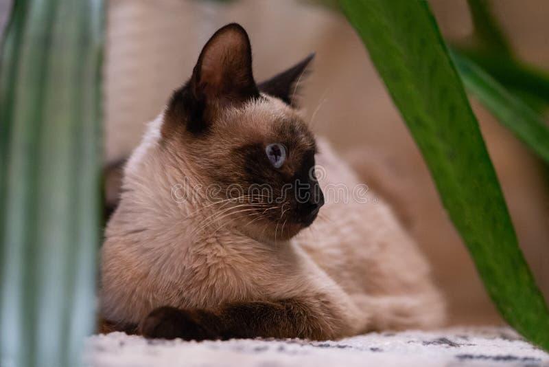 在家休息的暹罗猫 库存图片