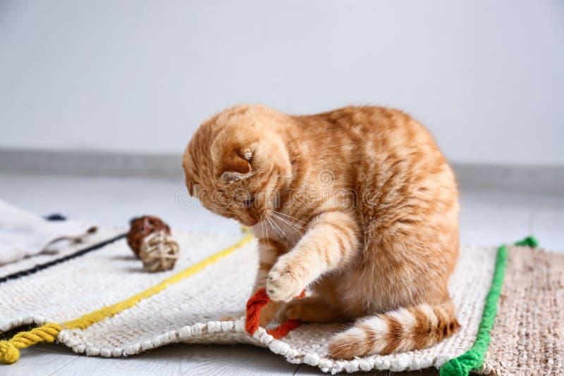 在家使用逗人喜爱的苏格兰折叠的猫 库存照片
