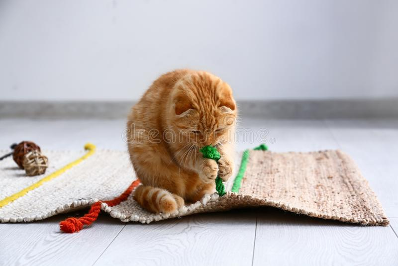 在家使用逗人喜爱的苏格兰折叠的猫 免版税库存照片