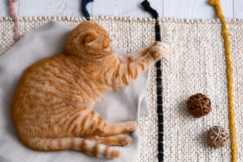 在家使用逗人喜爱的苏格兰折叠的猫 免版税库存图片
