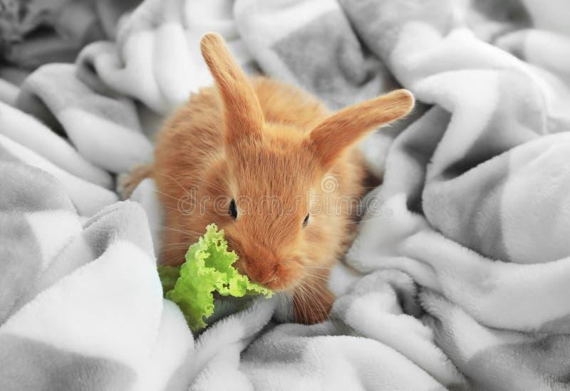 在家吃在软的格子花呢披肩的逗人喜爱的蓬松兔宝宝莴苣 免版税库存照片