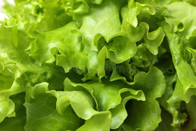 在家庭菜园增长的新鲜的莴苣叶子的关闭 免版税库存照片