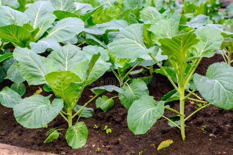 在家庭菜园的庭院里发芽圆白菜 免版税库存图片