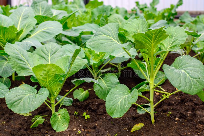在家庭菜园的庭院里发芽圆白菜 免版税库存照片