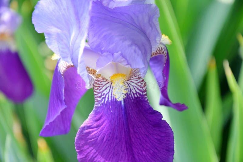 在家庭菜园的虹膜紫罗兰色花 免版税库存图片