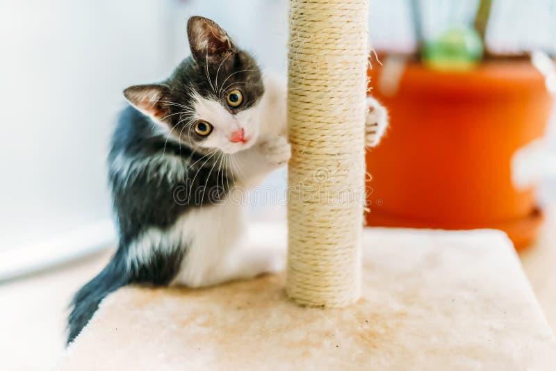 在家抓和削尖爪的可爱宝贝猫 免版税图库摄影