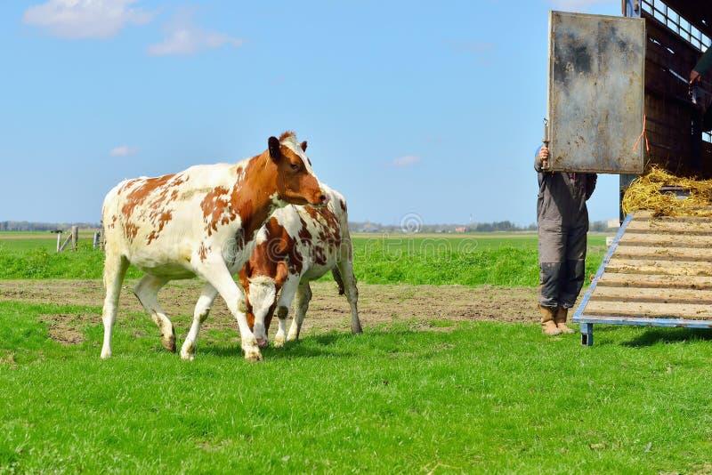 在家畜运输的母牛 库存照片