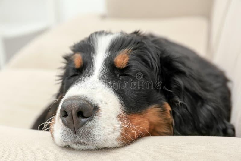 在家睡觉在沙发的逗人喜爱的滑稽的狗 免版税图库摄影
