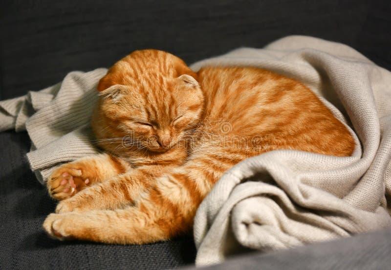 在家睡觉逗人喜爱的苏格兰折叠的猫 免版税库存照片