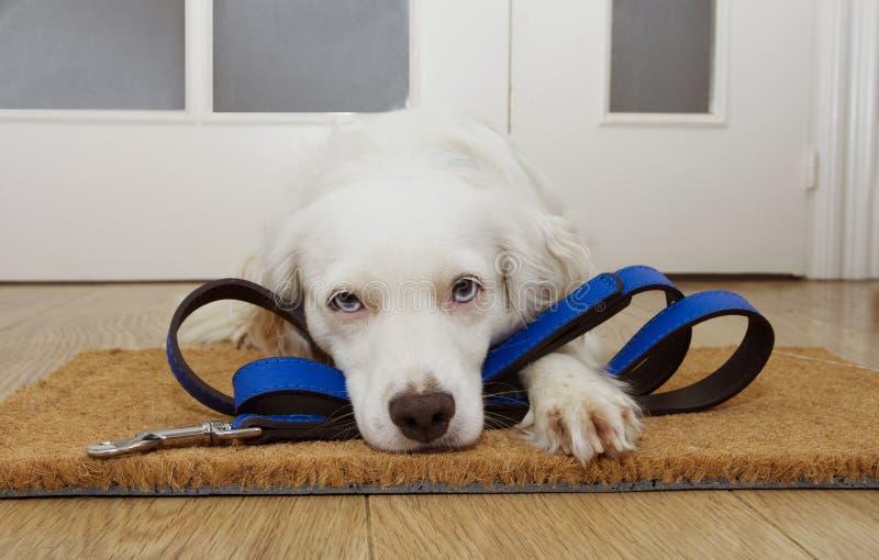 在家等待步行的小狗在门旁边与皮革皮带 免版税库存照片