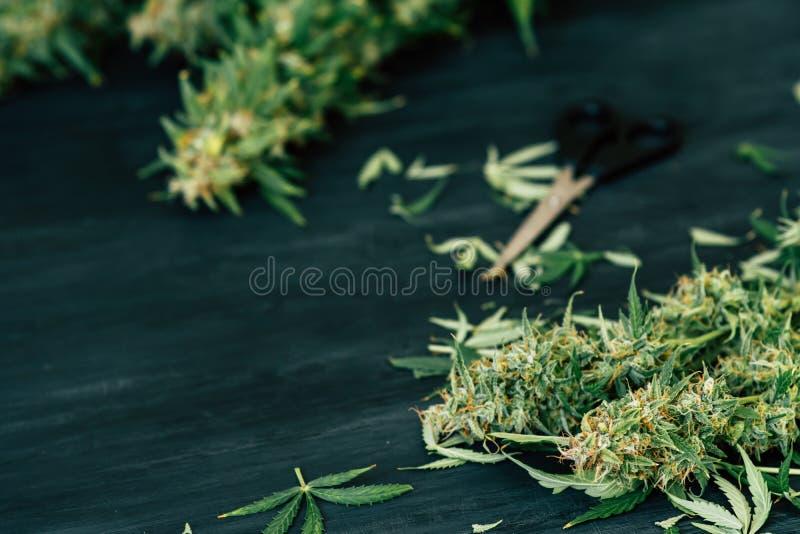 在家被种植的新近地被收获的医疗大麻 关闭大麻在被整理以后离开 愈合 精神的健康 芽 图库摄影