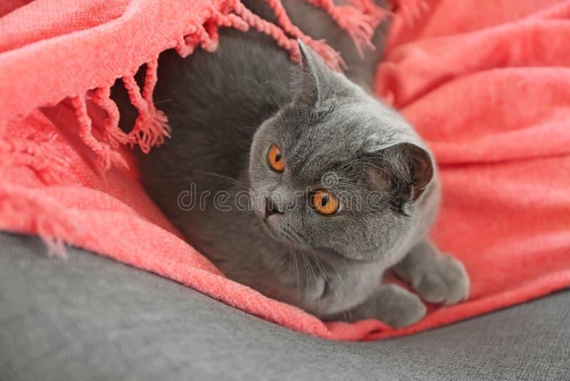 在家说谎在软的格子花呢披肩的逗人喜爱的英国Shorthair猫 免版税库存图片