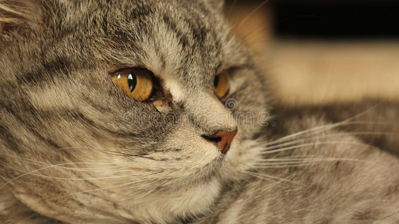 在家说谎在地板上的猫 画象 免版税库存照片