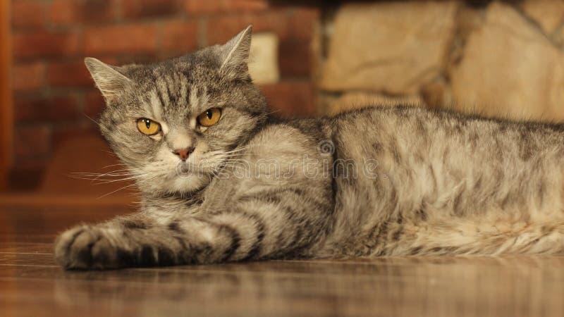在家说谎在地板8上的猫 库存照片