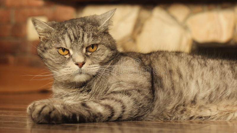 在家说谎在地板5上的猫 库存图片