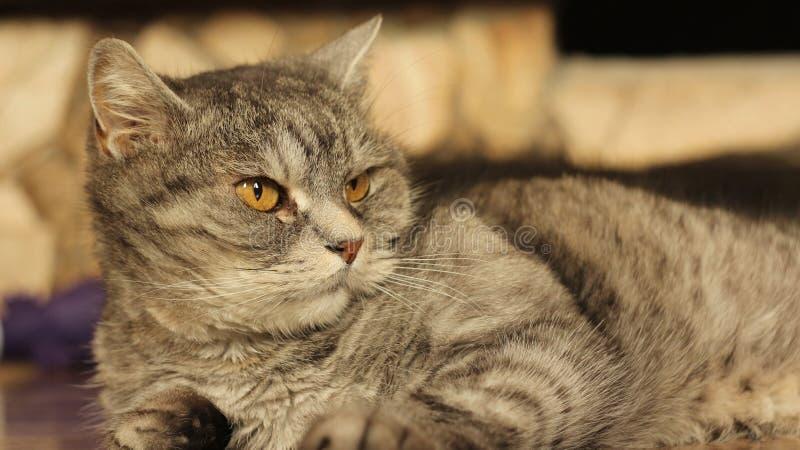 在家说谎在地板6上的猫 免版税库存照片