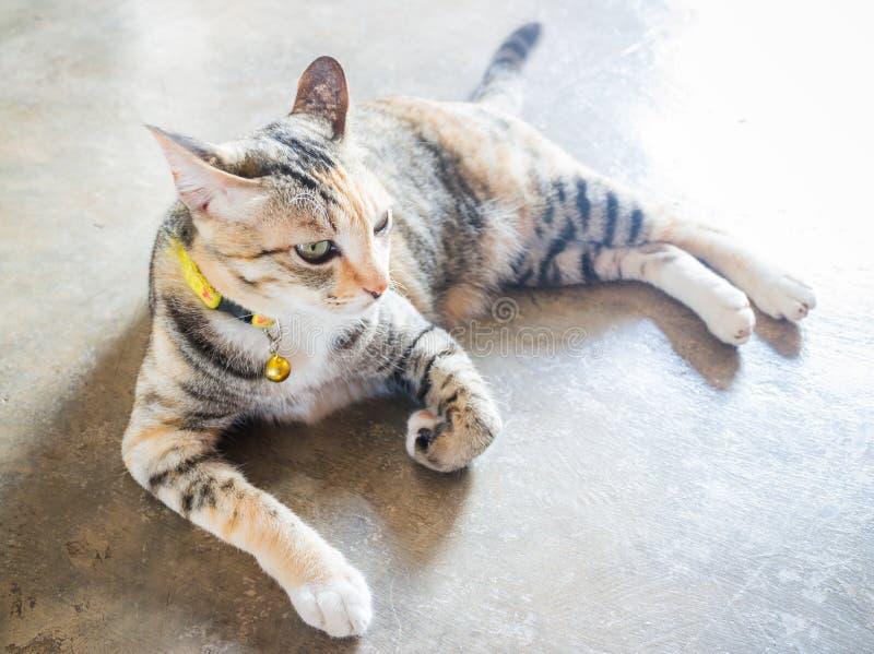 在家说谎的暹罗猫下来休闲 免版税库存照片