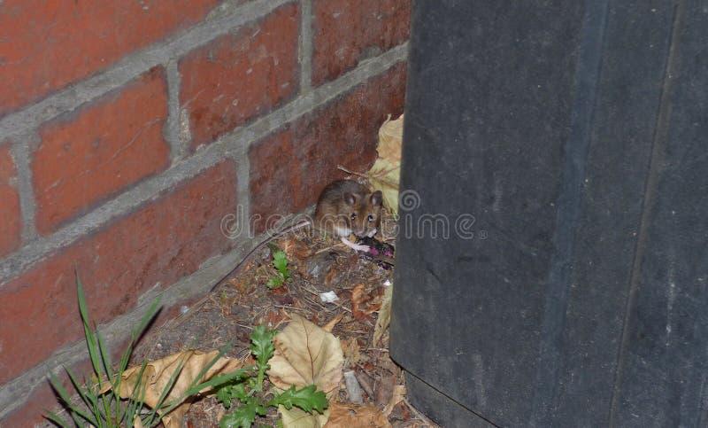 在容器后的田鼠,当等待公共汽车,在英国时拍的照片 免版税库存照片