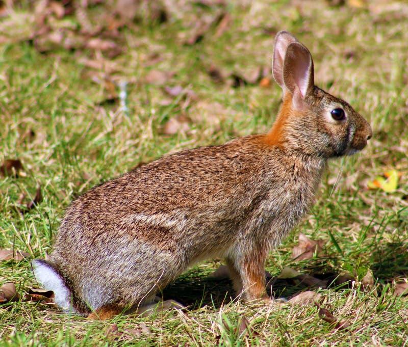 在密执安褐色兔宝宝的野生兔子 免版税库存照片