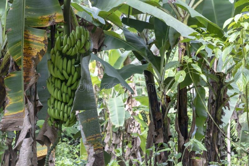 在密林关闭的未成熟的香蕉:在亚马孙河盆地雨林的绿色香蕉树在南美洲 免版税库存照片
