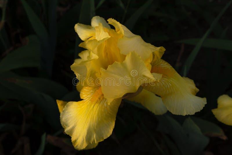 在密集的绿色瓣背景的黄色开花的虹膜花  免版税库存图片