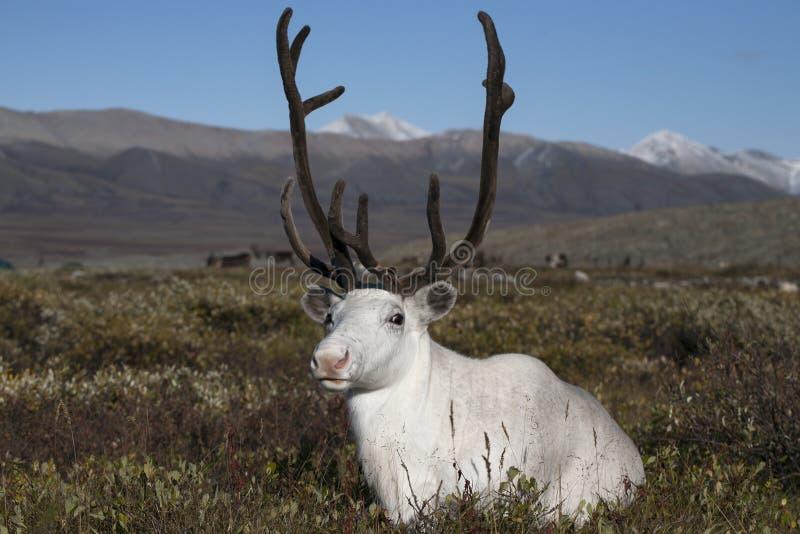 在寒带草原的白色鹿 库存图片