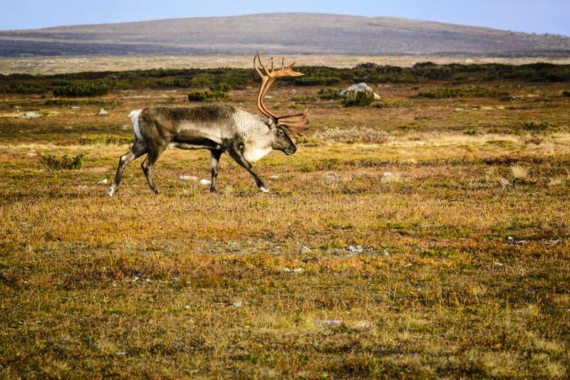 在寒带草原的驯鹿 库存照片