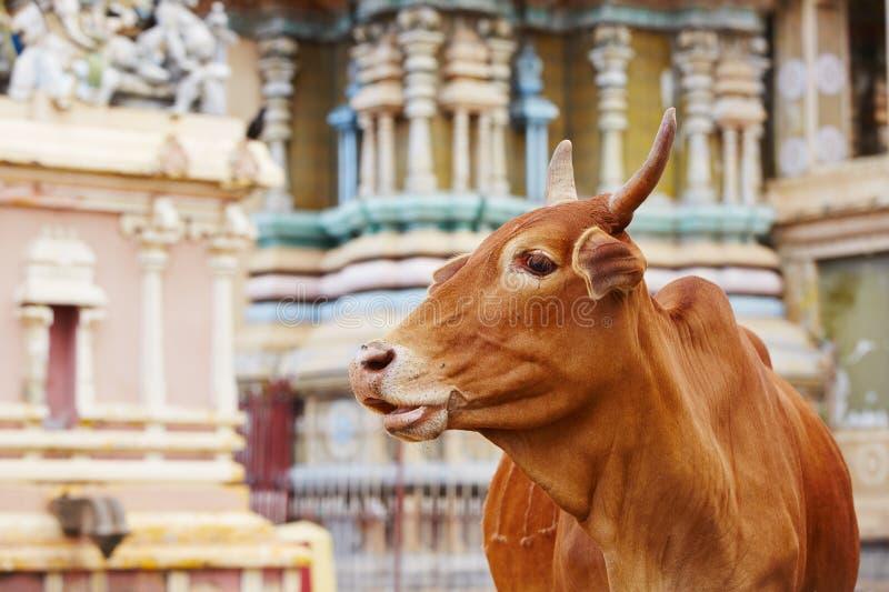 在寺庙前面的母牛 免版税库存图片