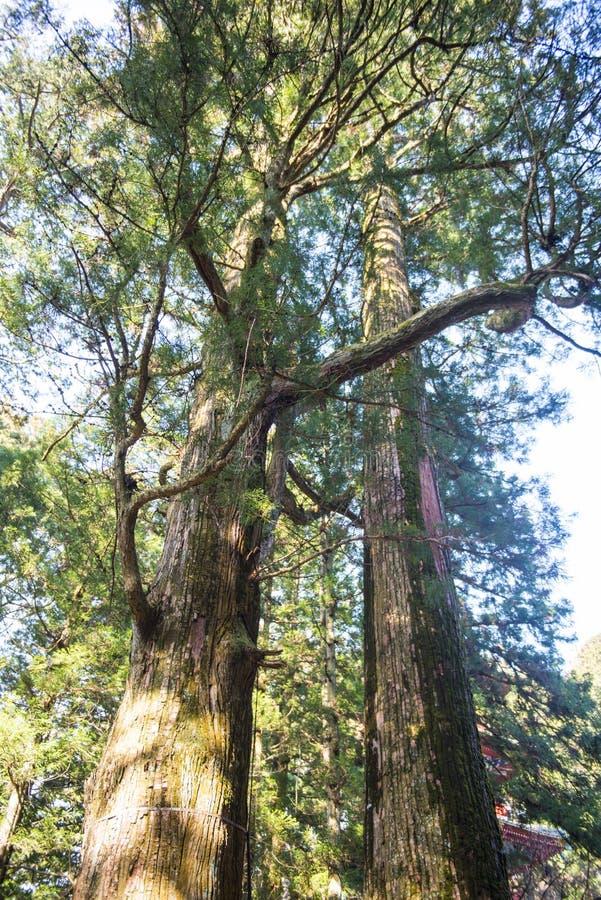 在寺庙的一棵大树在日本 免版税库存照片