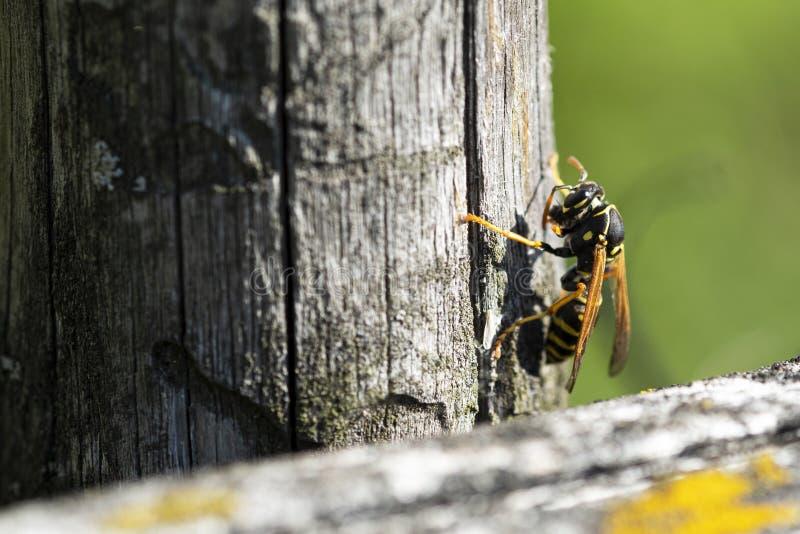 在寻找巢的被风化的木头的黄蜂材料,黄蜂瘟疫在夏天为过敏受害者,拷贝空间是危险的 免版税库存图片