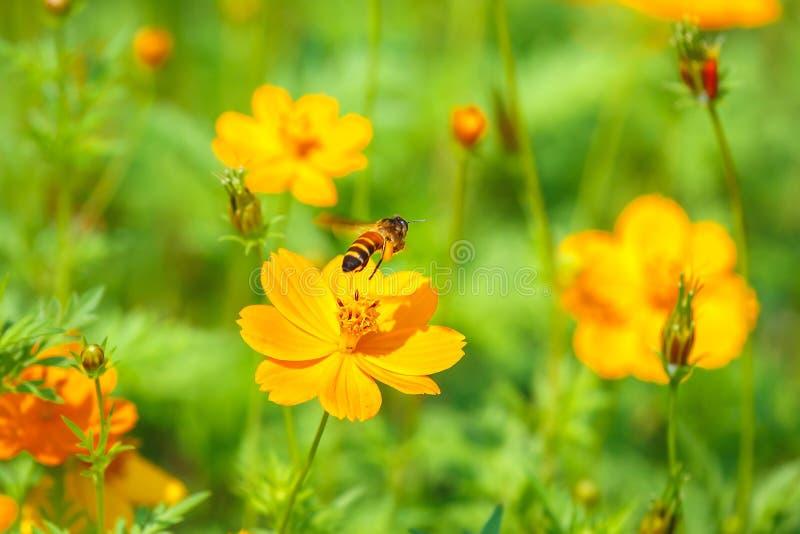 在寻找花蜜的黄色花蒲公英的蜂蜜蜂 库存图片