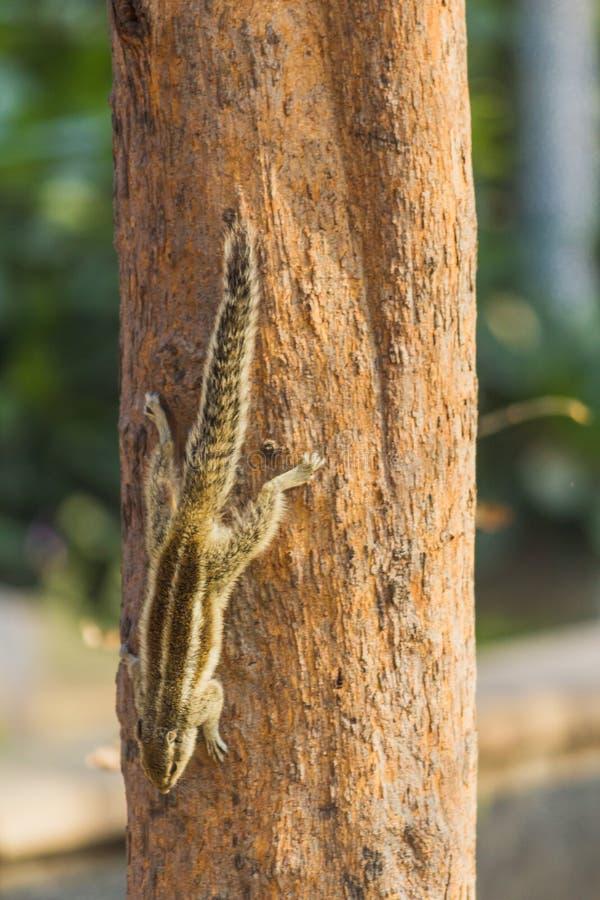 在寻找食物的树的灰鼠 免版税库存图片