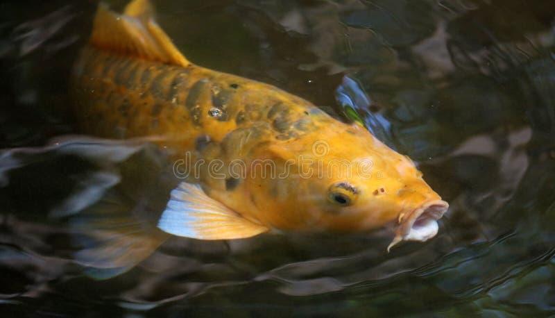 在寻找食物,鱼的水族馆的黄色koi鱼在日本 免版税库存照片