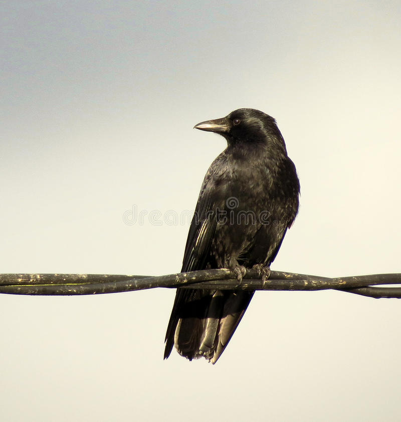 在导线的乌鸦 库存照片