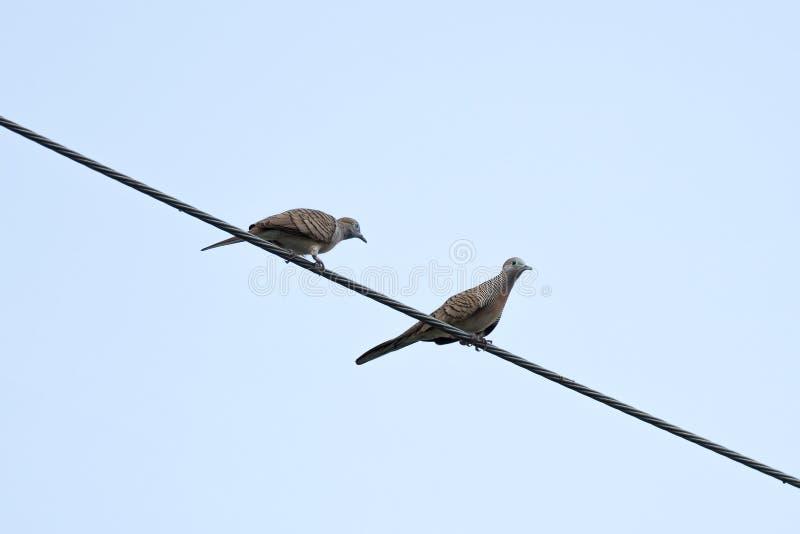 在导线的夫妇鸟 库存照片