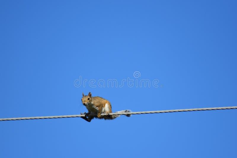 在导线的灰鼠 免版税库存照片