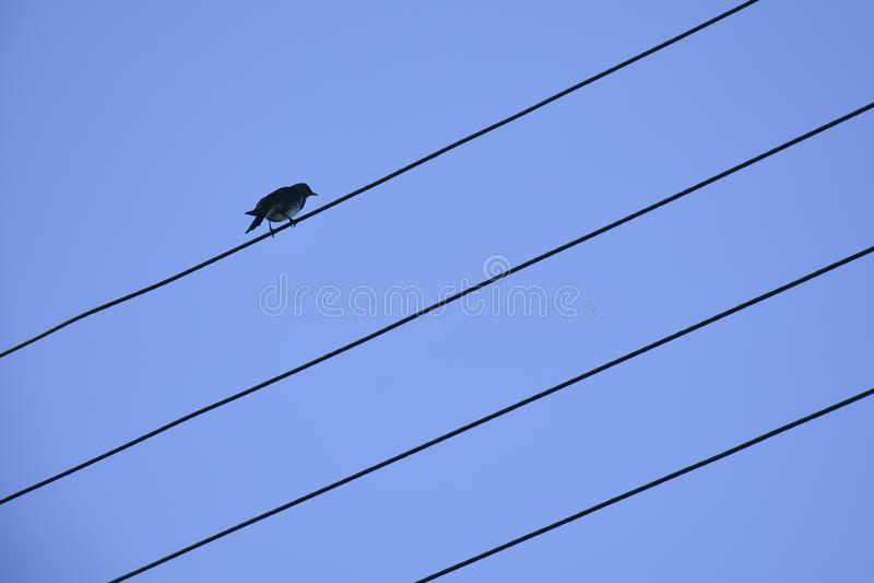 在导线的鸟反对天空蔚蓝 在导线的孤立鸟反对天空蔚蓝 免版税库存照片