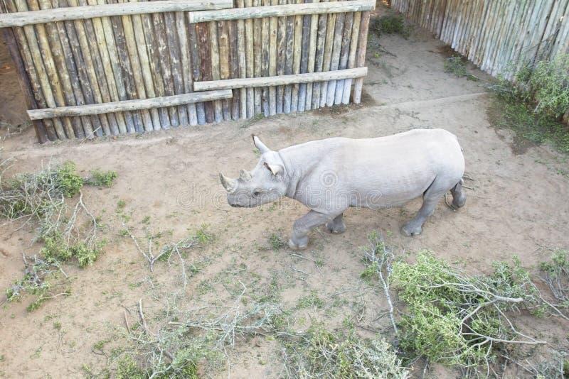在封入物被保留的不安定的黑犀牛 免版税库存照片