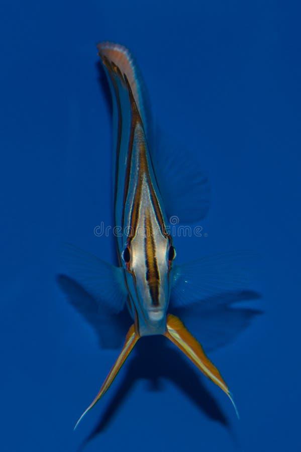 在射击Copperband蝴蝶鱼的头 免版税库存照片