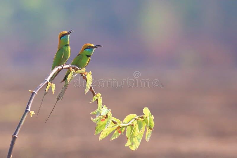 在小分支的绿色食蜂鸟 免版税库存照片
