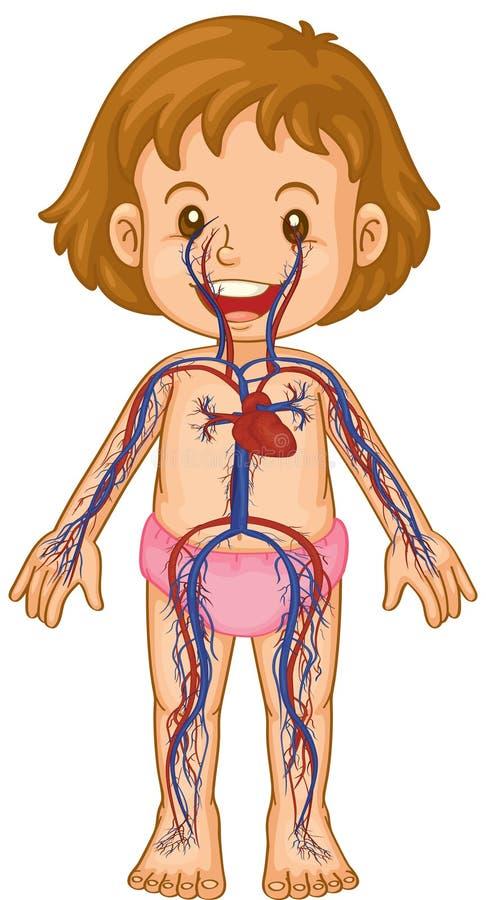 在小女孩身体的血液系统 库存例证