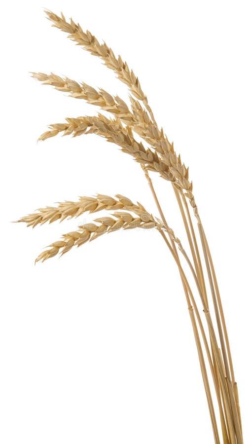 在小尖峰的麦子成熟未加工的五谷在白色背景隔绝的词根 图库摄影