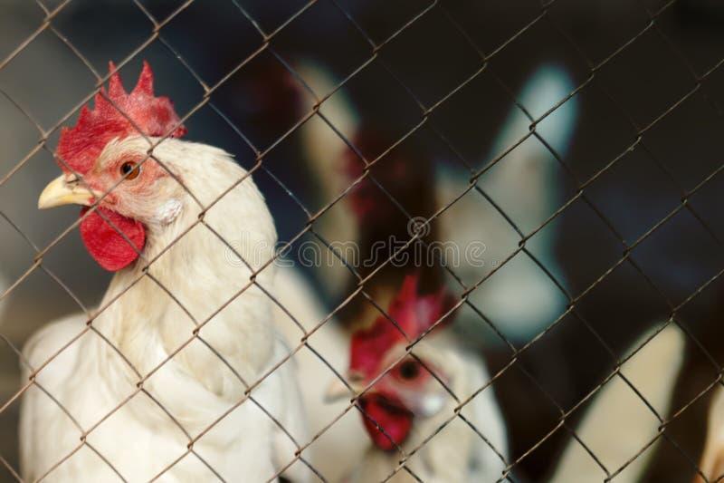 在小屋的鸡 被定调子的图象 免版税库存照片