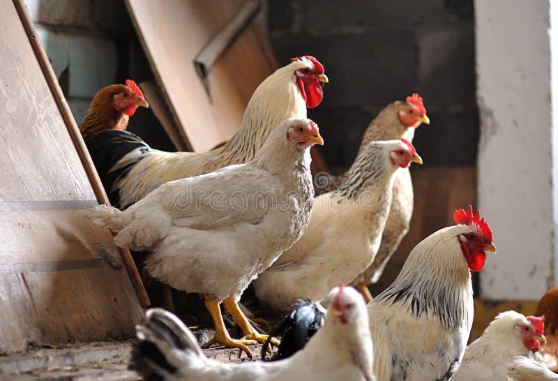 在小屋的鸡 免版税库存图片